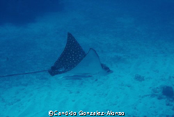 Spotted Eagle ray  gracefully gliding through .   Guanica... by Candido Gonzalez-Alonso