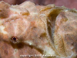 Frogfish close up, Elephant Head Rock, Similan Islands. C... by Tobias Reitmayr