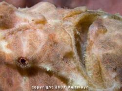 Frogfish close up, Elephant Head Rock, Similan Islands. C... by Tobias Reitmayr