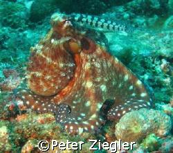 Octopus  Sabang, Puerto Gallera, Phillipines by Peter Ziegler