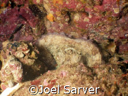 Octopus trying to sleep, but we woke him up! Check out hi... by Joel Sarver