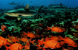 Grey Reef sharks and big eye soldier fish schooling on re... by Marylin Batt