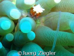 Mushroom Crab in Mushroom Coral  Mataking Island, Sabah... by Juerg Ziegler