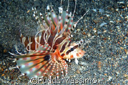 lionfish,in lembeh strait with nikon d70 and 60mm macro by Puddu Massimo