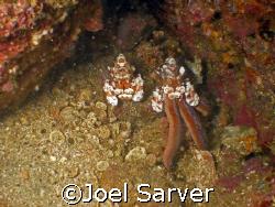 Clown Shrimp feeding on a Star Fish by Joel Sarver