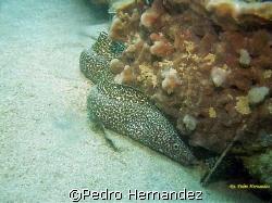 Spotted Moray,Humacao, Puerto Rico by Pedro Hernandez