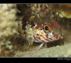Cute looking Saddled Blenny from Bonaire. Canon G7 and In... by Brian Mayes