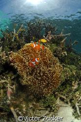 clownfish senic/ 10.5 by Victor Zucker