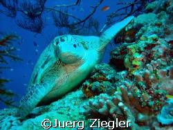 Hawkbill turtle enjoying relaxing moment !  Sipadan, Sa... by Juerg Ziegler