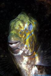 Gold-saddle rabbitfish, Siganus guttatus. Picture taken o... by Anouk Houben