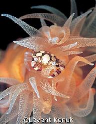 Harlequin Crab by Levent Konuk