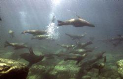 Sea Lions, Sea of Cortez, Housed Nikon F, 24mm Nikkor Lens by Rick Tegeler