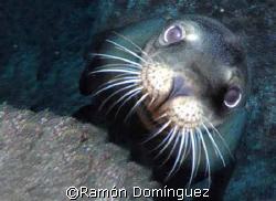 Sea lion pup. Sea of Cortéz, México. by Ramón Domínguez