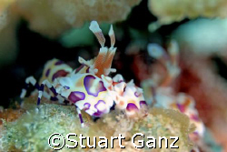 Harlequin shrimp in my backyard. Lucky to live Hawaii by Stuart Ganz