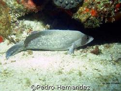 Greater Soapfish,Humacao, Puerto Rico by Pedro Hernandez
