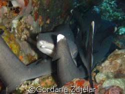 baby whitetip sharks sleeping under a rock by Gordana Zdjelar