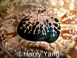 eye of a resting crocodilefish. by Sipadan 2007/09/05~09.... by Harry Yang