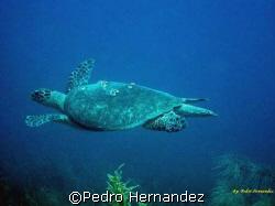 Hawksbill Turtle,Parguera, Puerto Rico by Pedro Hernandez