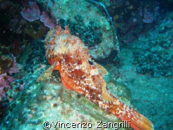 Scorpion fish having a nap by Vincenzo Zangrilli