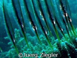 Eye to Eye with Razor Fishes !  Mataking Island - Sabah... by Juerg Ziegler