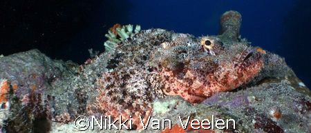 Scorpionfish taken at Sharks Observatory with E300. by Nikki Van Veelen