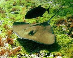 Arraia at Cabras Hole in Fernando de Noronha's Island. by Alexandro Auler
