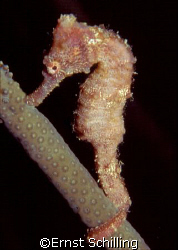 pink Baby Seahorse on Bonaire by Ernst Schilling