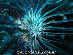 "The ""cirri"" - legs of a feather star and a little shrimp ... by Gordana Zdjelar"