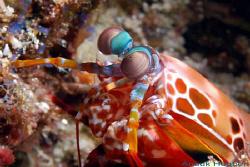 Smashing mantis shrimp, Odontodactylus scyllarus. Picture... by Anouk Houben