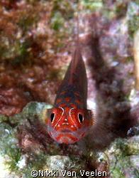 Goby taken at Sharksbay with E300 and 105mm lens. by Nikki Van Veelen