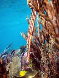 Trumpet fish by A.j Saunders