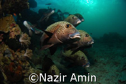 A school of sweetlips