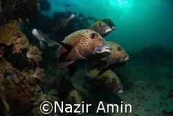 A school of sweetlips Taken at Roach Reef, Sabah.  by Nazir Amin