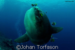 Mola mola, Bali, Nusa Penida. First try for Mola mola, I... by Johan Torfason