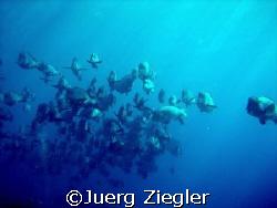 Bumphead School over Reef from Sipadan Island! My very l... by Juerg Ziegler