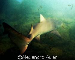 Shark at  Sueste Bay. Archipelago of Fernando de Noronha. by Alexandro Auler
