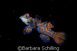 Mandarin Fish looking for his mate! Taken with Canon 20 D... by Barbara Schilling