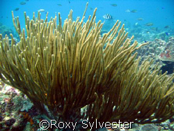 Graceful sea fan in Bonaire by Roxy Sylvester