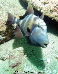 Trigger fish, Sea of Cortéz, México. by Ramón Domínguez