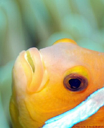 Endemic anemone fish of the Maldives, Amphiprion nigripes. by Anouk Houben
