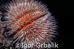 Sea Urchin by Igor Grbalik