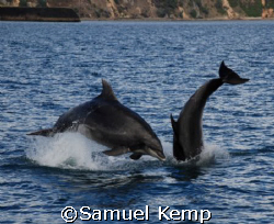 Playful dolphins by Samuel Kemp
