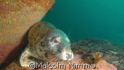 A seal taken from the Isles of Scilly  by Malcolm Nimmo