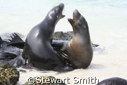 sea lions laughing in the Galapagos by Stewart Smith