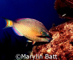 Parrot fish grazing.  Nikonos V 28mm lense by Marylin Batt