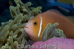 Maldivian Clown fish at home by Barbara Schilling