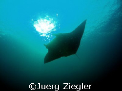 Manta in the sun - what a beautiful moment to enjoy !