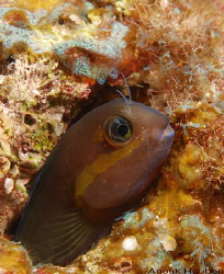 Smooth-fin blenny, Ecsenius frontalis. Picture taken off ... by Anouk Houben