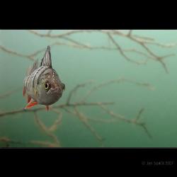No pasaran! :) A small bass, very curious .. (fresh water) by Jan Spacil