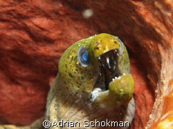 Moray Eel inside Sponge Coral. Taken at Redang Island wit... by Adrian Schokman